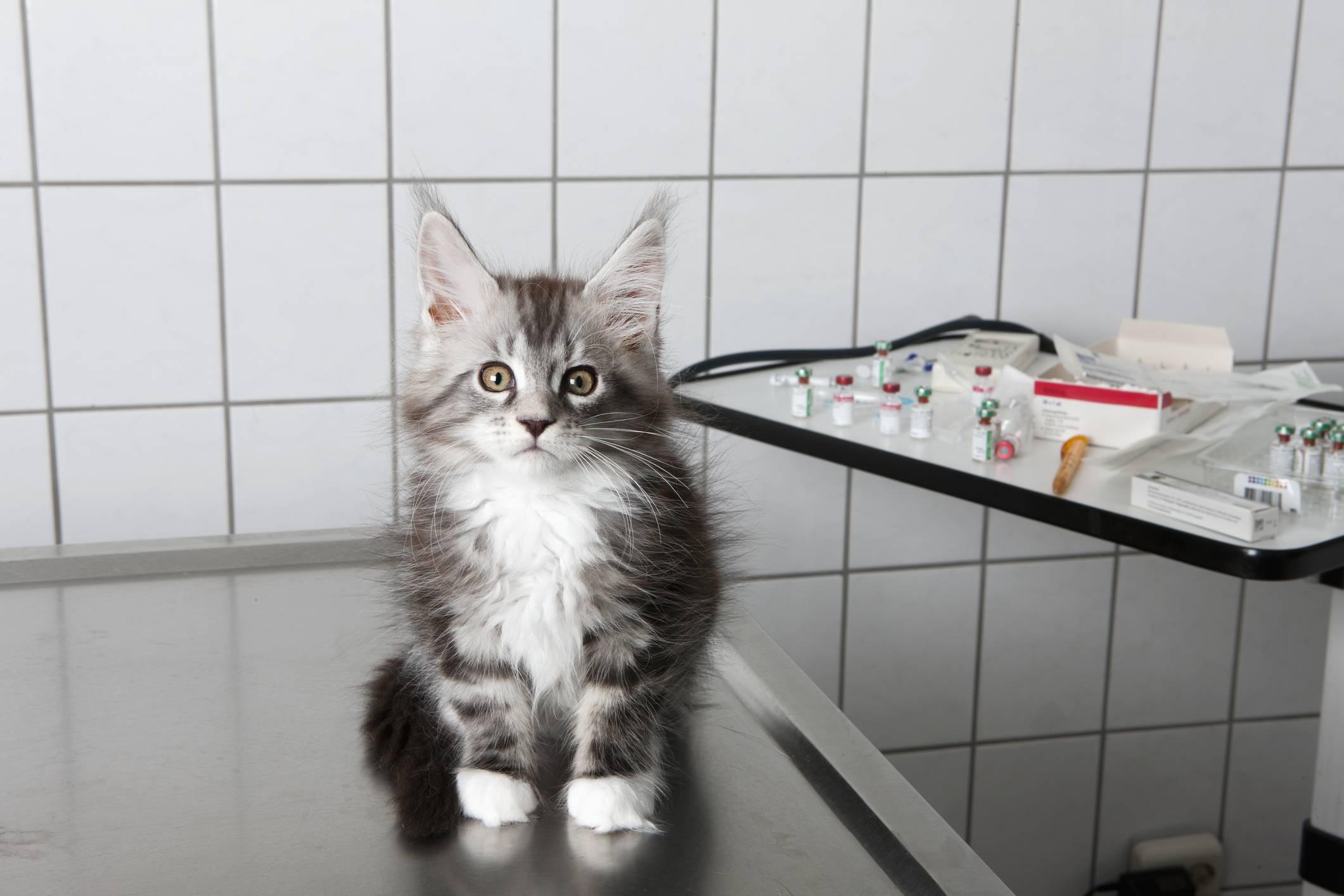 Кошка трясет головой и чешет уши: причины, как и чем помочь питомцу