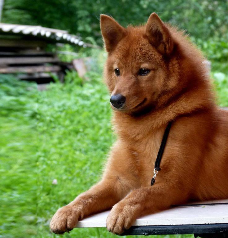 Карело финская лайка - описание породы, охота с собакой и другие полезные факты