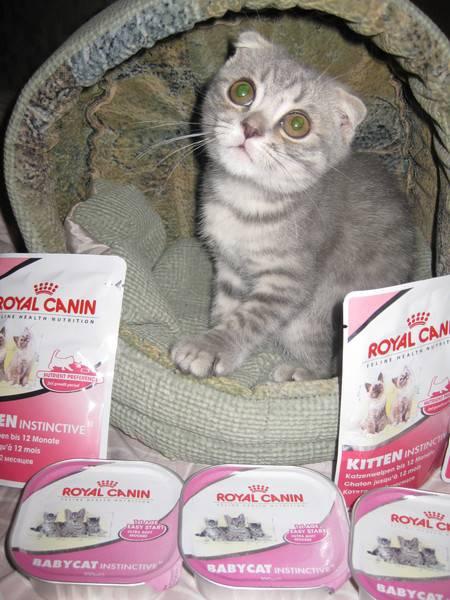Каким кормом лучше кормить британского котенка: натуралкой, сухим или влажным, все за и против