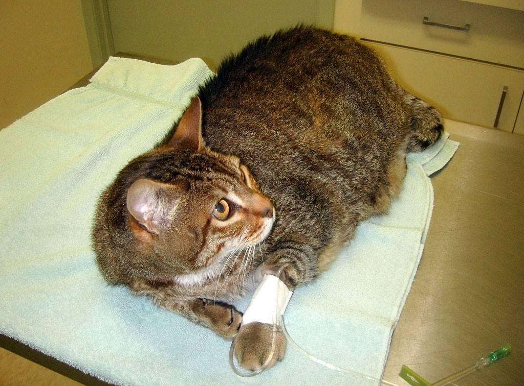 Перелом хвоста у кошки: симптомы, первая помощь, лечение