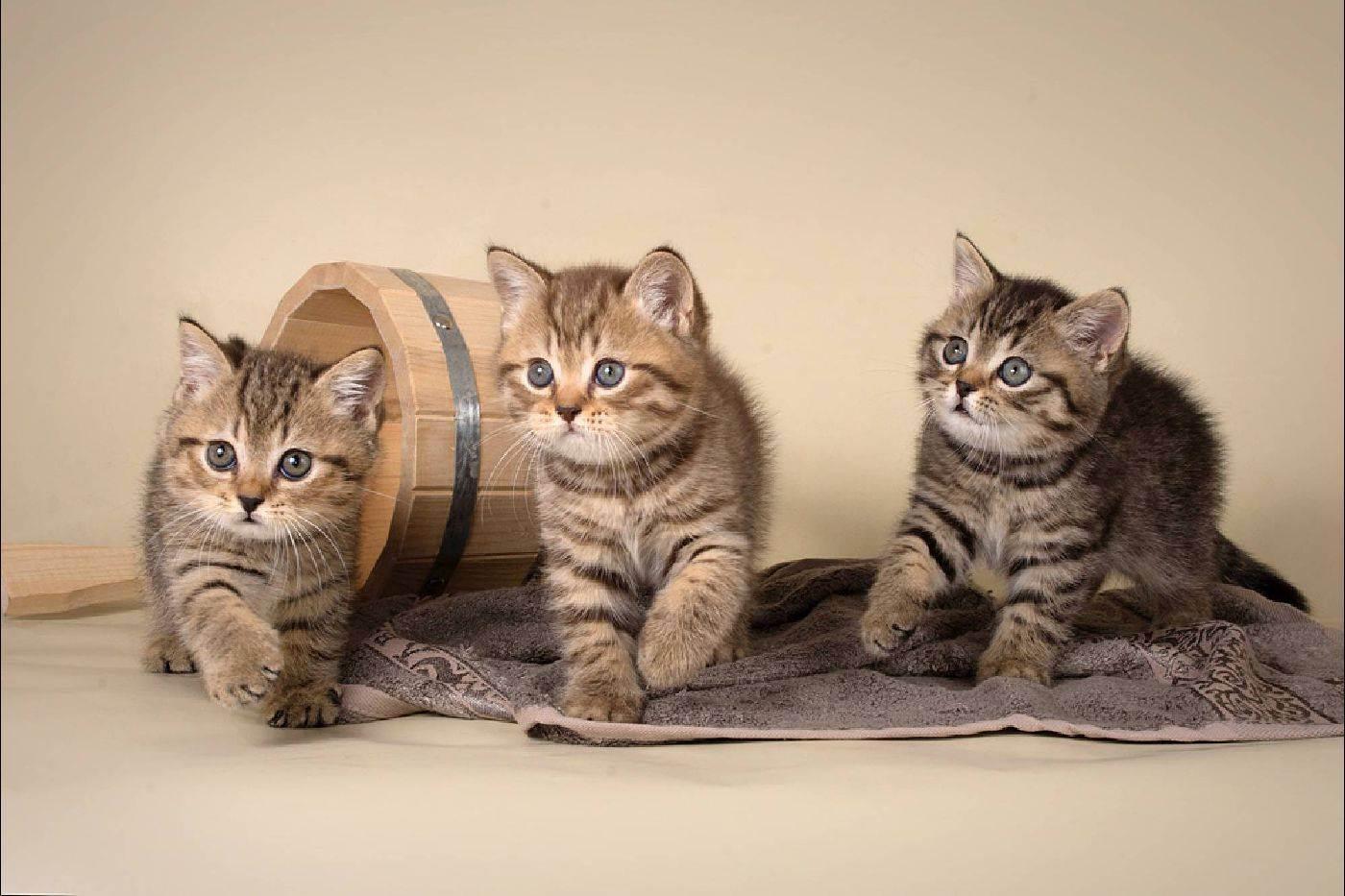 Частые вопросы - питомник британских кошек arletta british