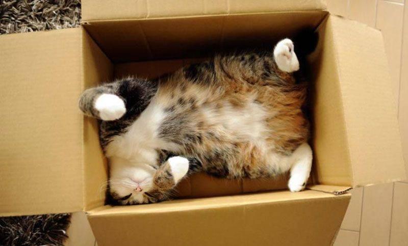 Почему кошки любят залезать в коробки – 4 причины