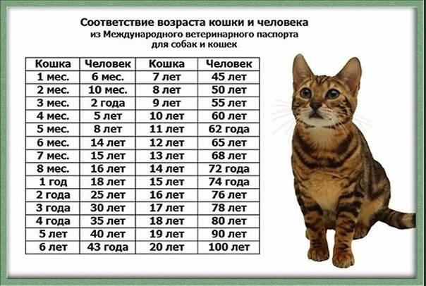 Как определить возраст кошки по человеческим меркам, год за семь
