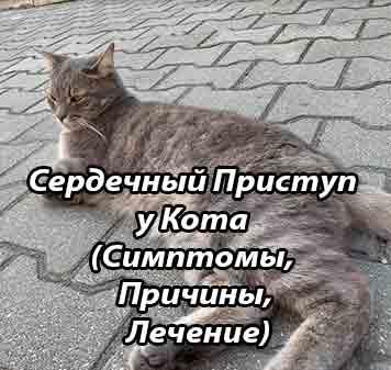 Сердечная недостаточность у кошек: симптомы, лечение сердечная недостаточность у кошек: симптомы, лечение