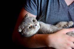 Остеохондродисплазия шотландских кошек. причины, симптомы, лечение