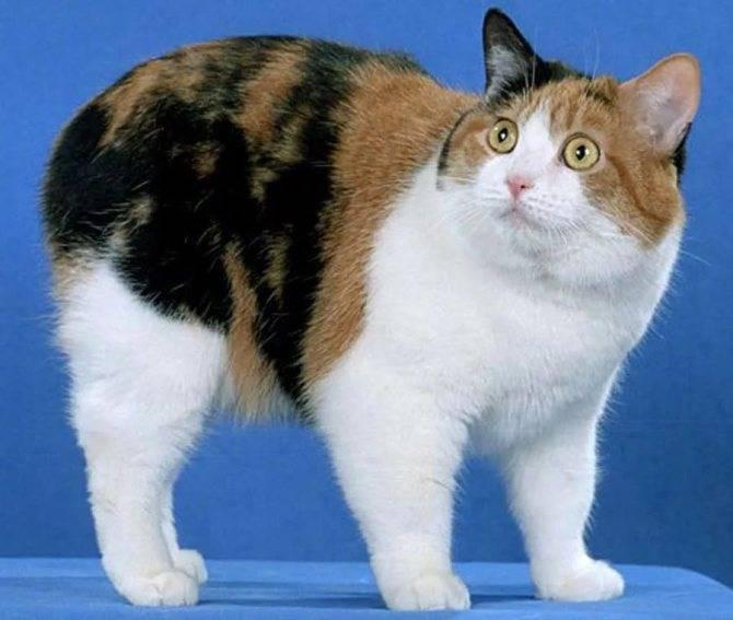 Мэнкс - описание породы и характер кошки