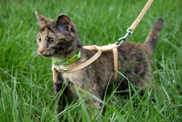 Одеваем шлейку на кошку правильно: пошаговый процесс и фото
