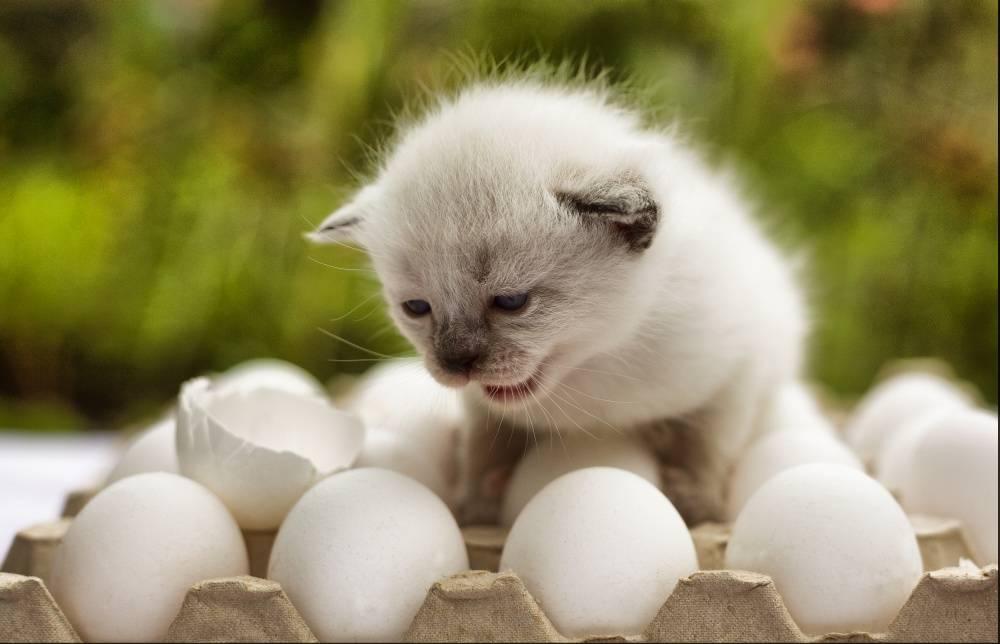 Можно ли кошкам яйца: вареные, сырые, всмятку