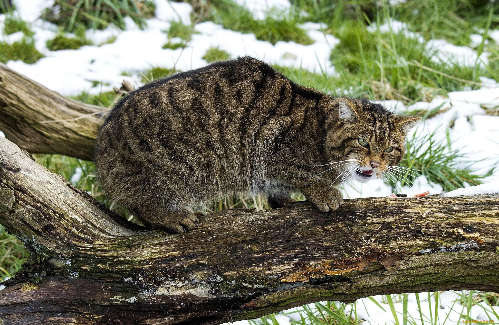 Амурский лесной кот — описание вида