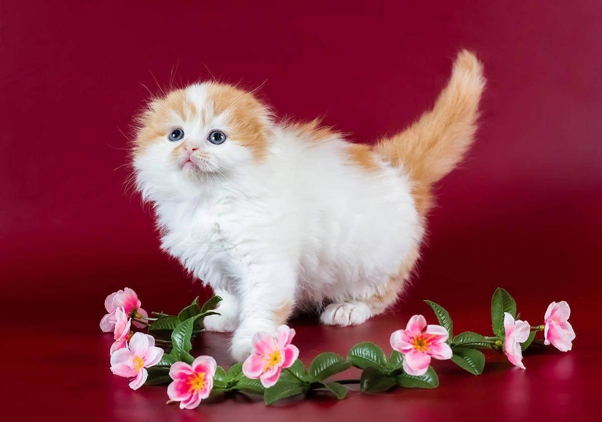 Правда, что шотландские коты очень болезненные? - запись пользователя маруся (id1794879) в сообществе домашние животные в категории болезни любимцев - babyblog.ru