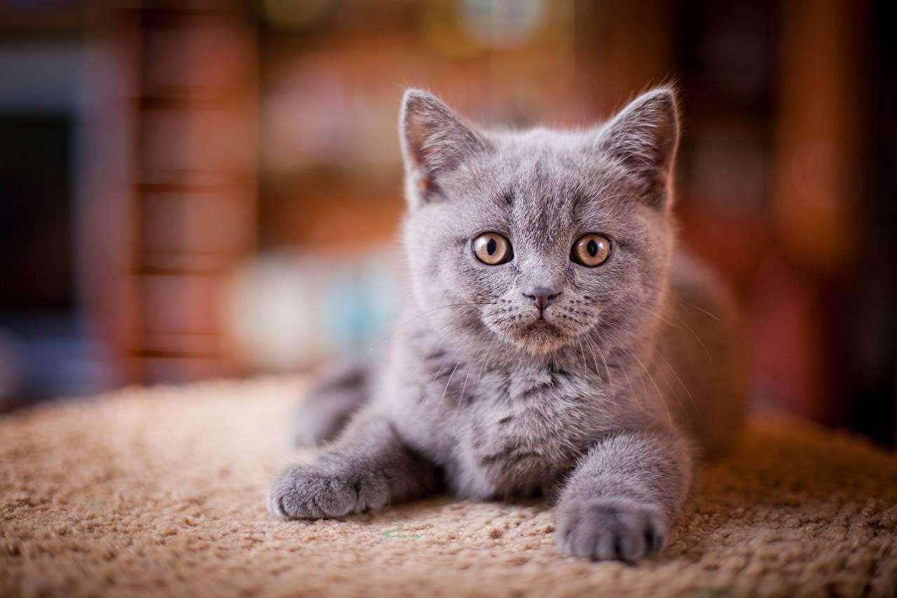 Клички для котов мальчиков британской породы серого цвета список