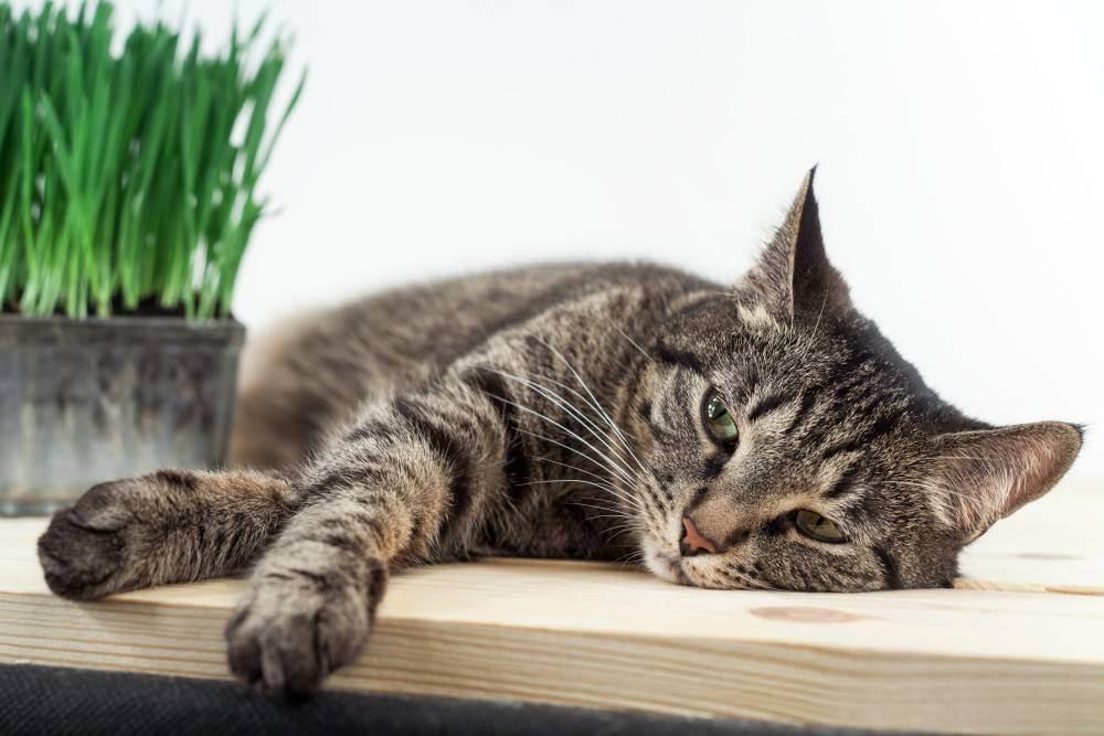 Кошка кашляет хрипит вытягиваясь и прижимаясь к полу, что делать?