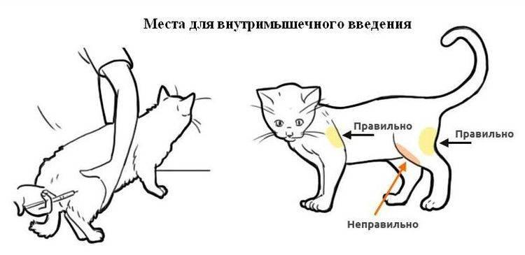 Как сделать укол кошке в холку: полная инструкция от а до я