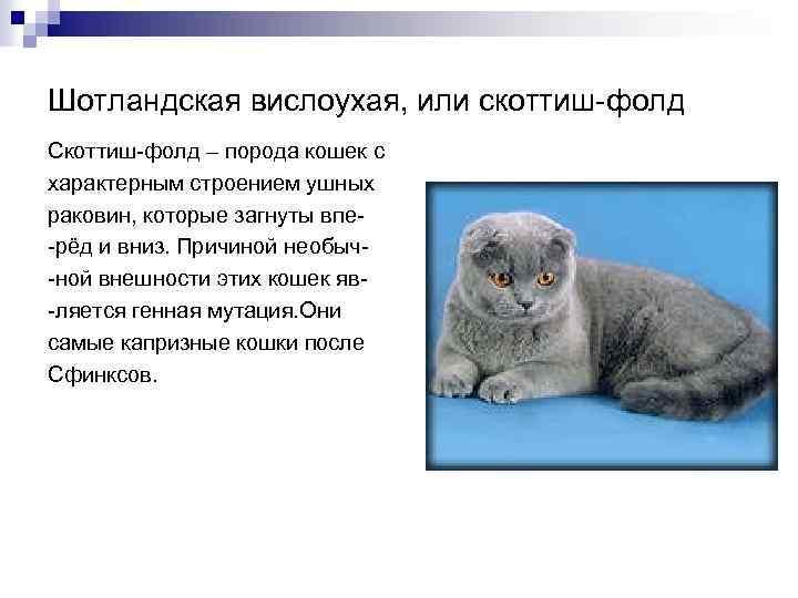 Описание породы кошек скоттиш-страйт: внешность и характер шотландской прямоухой