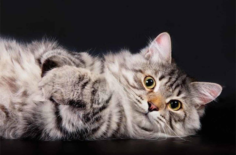 Самые ласковые и добрые породы кошек: 15 пород с фотографиями и описанием