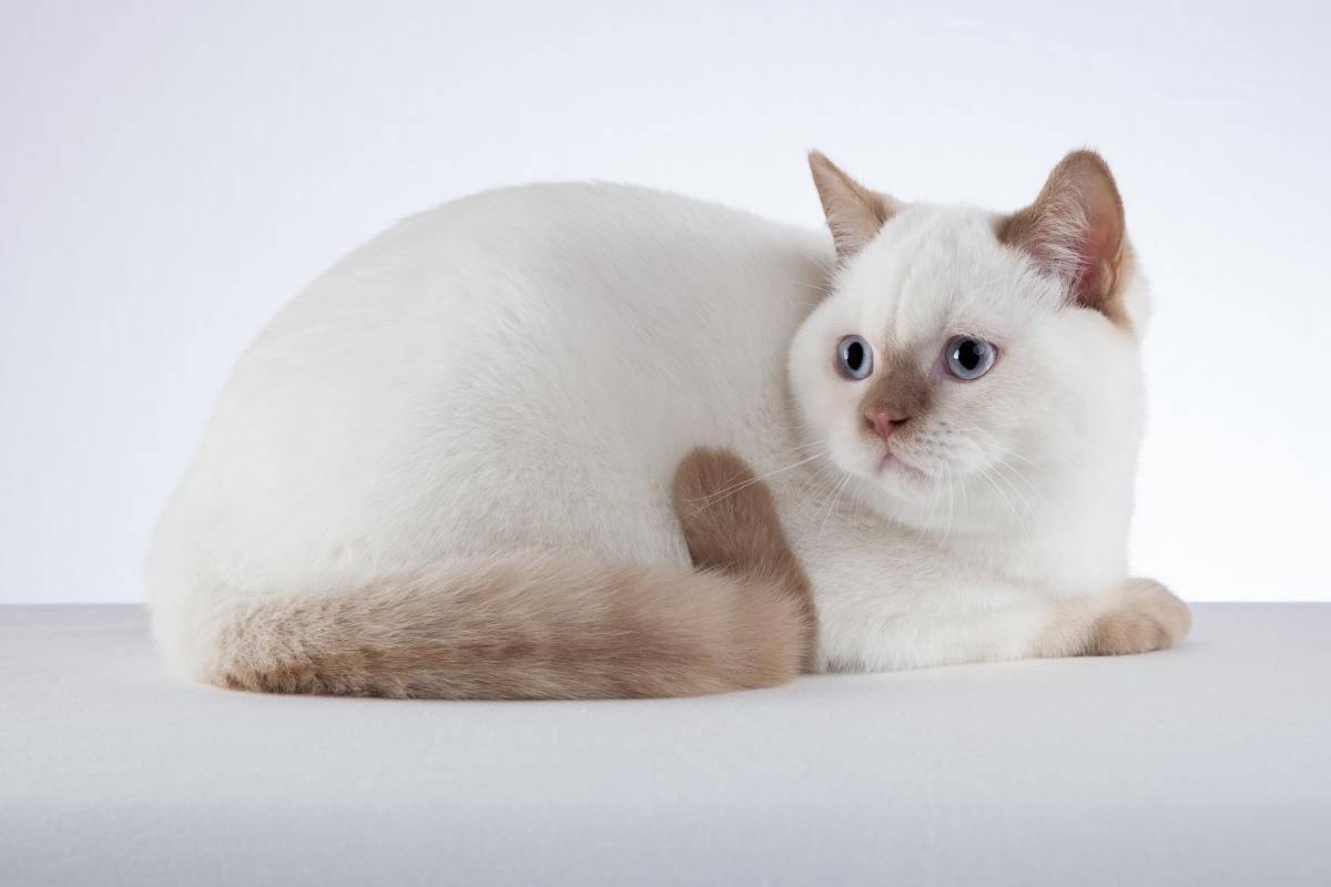 Разновидности окраса тайской кошки с фото: сил, табби, блю и ред пойнт