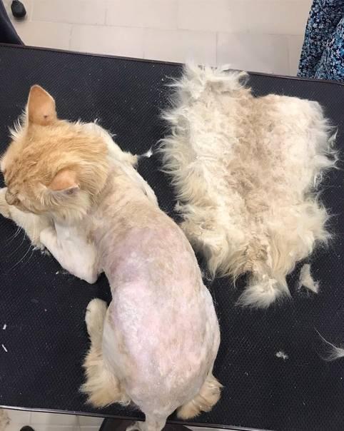 Кошка не может отрыгнуть шерсть, что делать в домашних условиях
