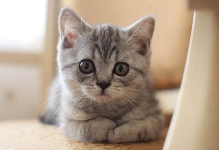 Чем кормить шотландского котенка по месяцам
