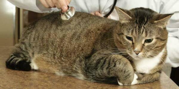 Астма у кошек и котов: симптомы и лечение