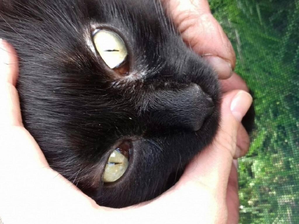 Симптоматика третьего века у кошек: описание причин и методов лечения