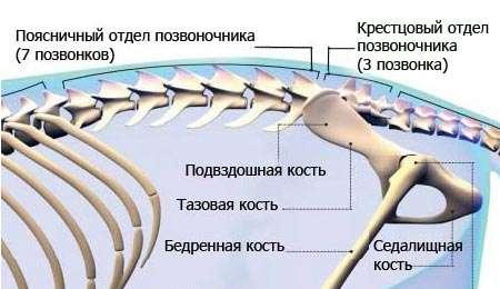 Строение позвоночника у кошек