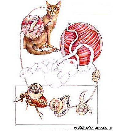 Можно ли заразиться глистами от кошки человеку   какими, передаются ли