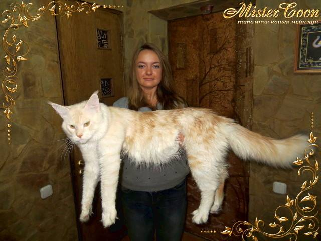 Сколько весит взрослый кот мейн кун