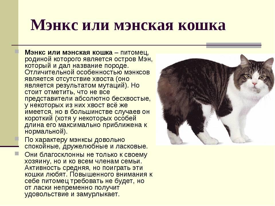 Мэнская бесхвостая: описание британской породы, характер кошки, требования к уходу
