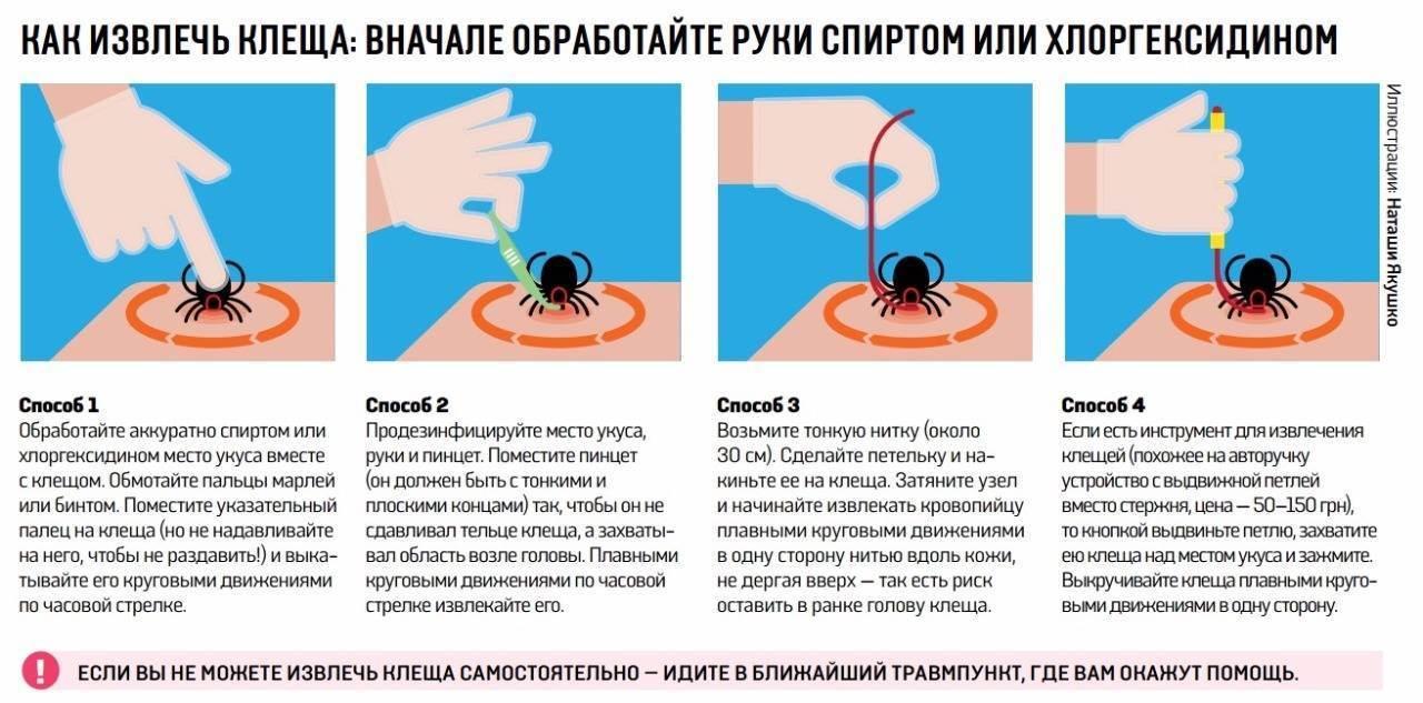 Как вытащить клеща у кота пинцетом, крючком, ниткой