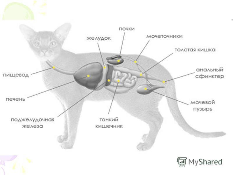 Мочекаменная болезнь у кошек: симптомы. лечение. профилактика