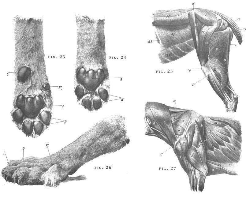 Сколько пальцев у кошки на задних и передних лапах при нормальном анатомическом строении, возможные отклонения и их причины