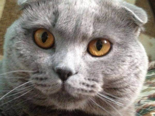 Когда у кошек начинается течка: первые выделения, сколько дней длится у шотландской, какая продолжительность у породистой, какие признаки беременности, симптомы эструса