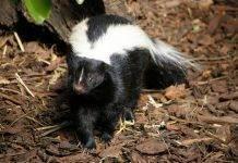 В каком возрасте созревают коты. инстинкт продолжения рода, или cексуальные кошачьи проблемы