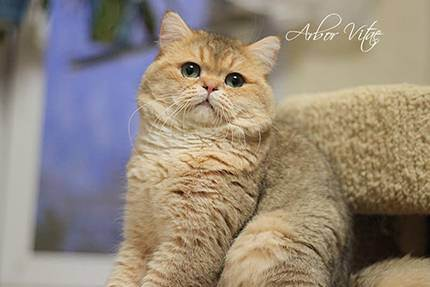Британские котята, кошки и коты