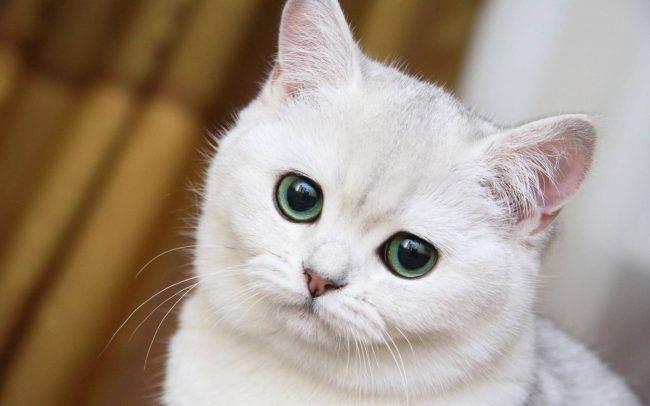 Болезни ушей у кошек: симптомы и лечение