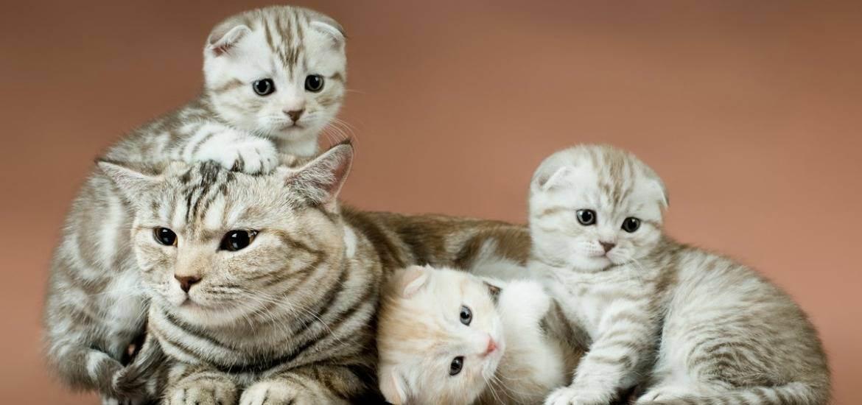 Особенности беременности и родов шотландской вислоухой кошки