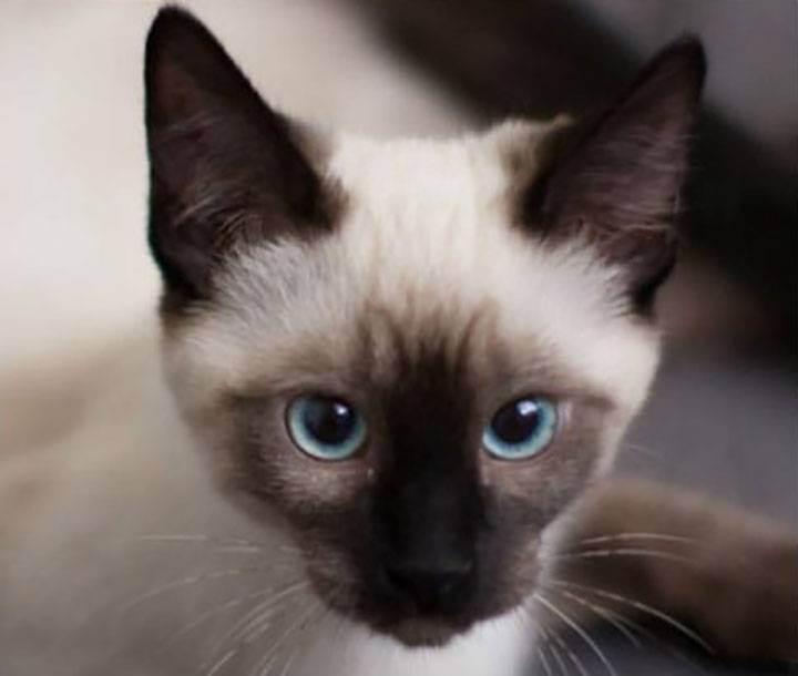 Овен – кот (кролик)