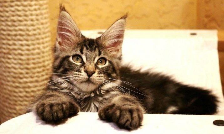 Сколько живет мейн-кун – продолжительность жизни кошки