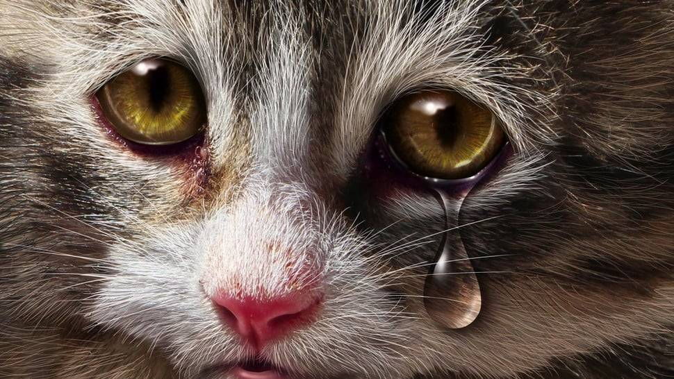 У кота слезятся глаза - причины и правильное лечение