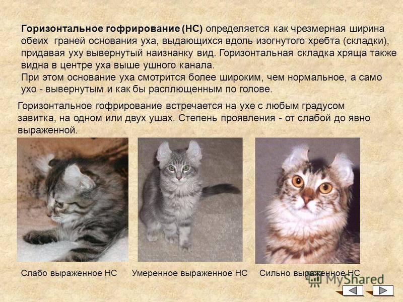 Американский кёрл: кошка с закрученными ушками