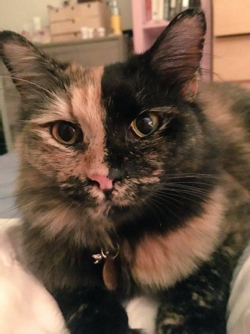 Судороги у кошек: что делать, как оказать помощь, лечение