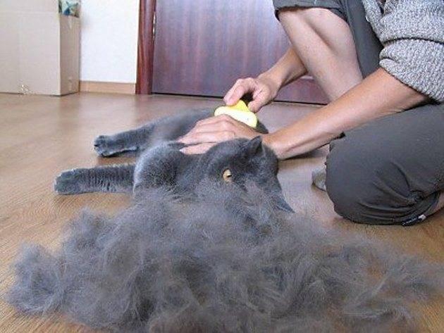 Кот сильно линяет – что делать в домашних условиях: причины постоянной линьки и решение проблемы
