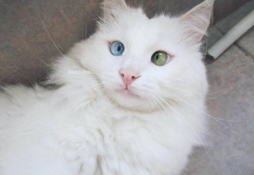 Белые кошки с голубыми глазами: характерна ли для них глухота и какими они бывают?