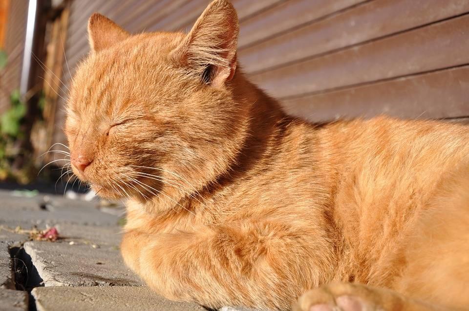 Рыжий кот: породистые и беспородные огненные питомцы