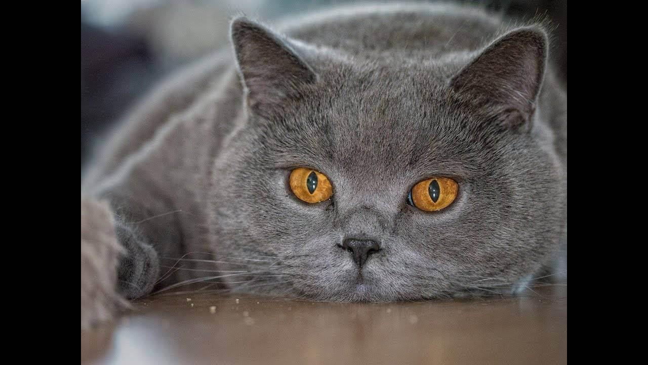 Уход за британскими котятами: содержание, воспитание, кормление