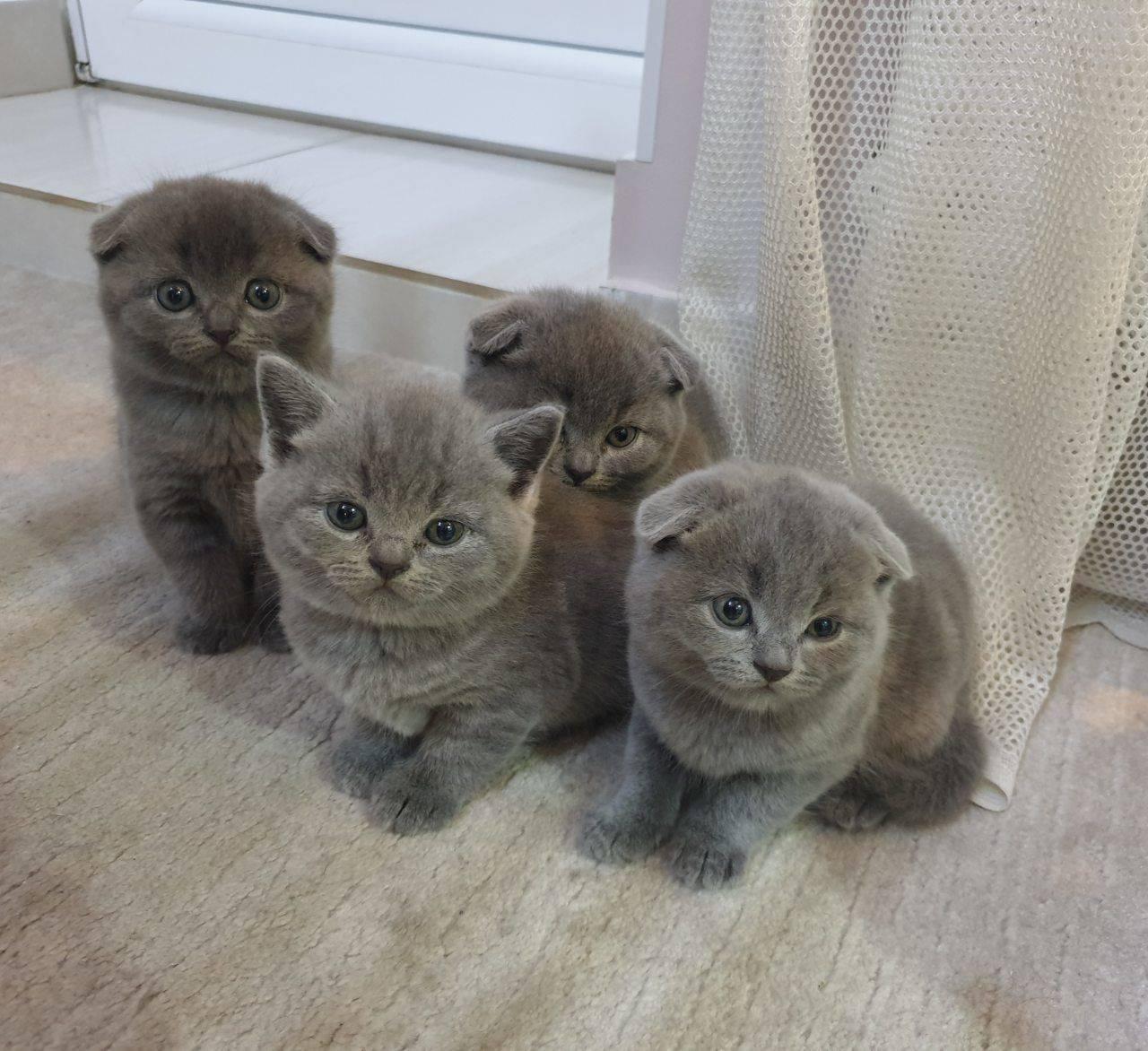 Шотландский котенок 3 месяца как выглядит - фото, описание, уход