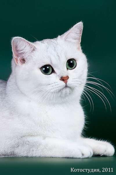 Британские коты сколько живут
