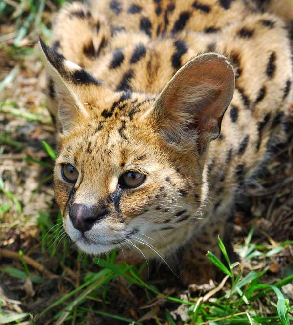 Сервал: фото кошки, цена, описание породы, характер, видео, питомники
