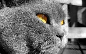 Сонник кошка британец серый. к чему снится кошка британец серый видеть во сне - сонник дома солнца