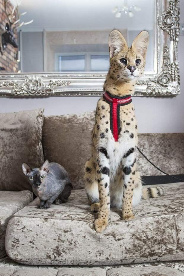 Какая порода кошки лучше для содержания в квартире